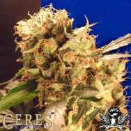 Ceres Seeds Orange Bud
