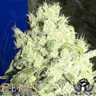 Ceres Seeds White Indica