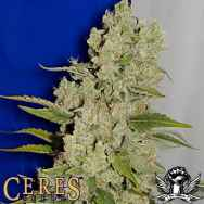 Ceres Seeds White Widow