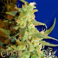 Ceres Seeds Skunk Haze
