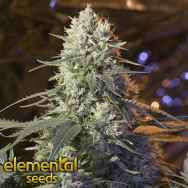 Elemental Seeds Chaos Kush