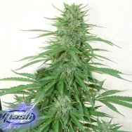 Flash Autoflowering Seeds Chaze Super Auto