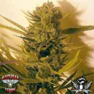 Hazeman Seeds Cheese BX1