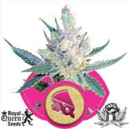 Royal Queen Seeds Royal Cheese Fast