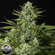 Dinafem Seeds Cheese CBD