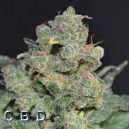 CBD Seeds Cheese