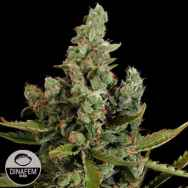 Dinafem Seeds Cheese