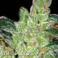 Vision Seeds Gouda's Grass AKA Cheese