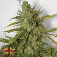 Connoisseur Genetics Seeds Cheesedog