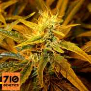 710 Genetics Seeds Cheese Label