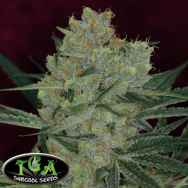 TGA Subcool Seeds Cheese Quake