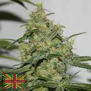 Connoisseur Genetics Seeds Cheese'N'Chong