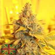 Connoisseur Genetics Seeds Cheese Dog Haze