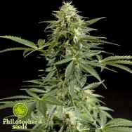 Philosopher Seeds Stilton AUTO AKA Cheesy AUTO