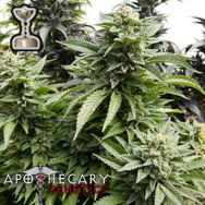 Apothecary Genetics Seeds Chem 91