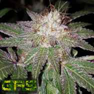 Garden Ablaze Seeds (GAS) Cherry Sherbet