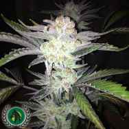 DarkHorse Genetics Seeds Cherry Wonka