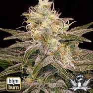 BlimBurn Seeds Chocolopez