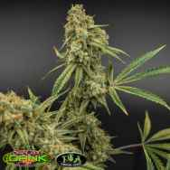 TGA SubCool's The Dank Banana Jack OG