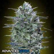 Advanced Seeds Critical Lemon