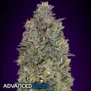 Advanced Seeds Critical Purple Kush