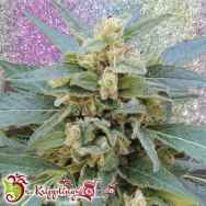 Dr. Krippling Seeds Mango Bubble Cloud