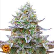Barneys Farm Seeds Gorilla Zkittlez