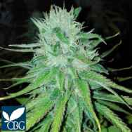 Cannabiogen Seeds Michoacan Cream