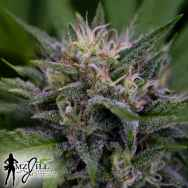 MzJill Genetics Moser Seeds Brian Berry Citrus Blend