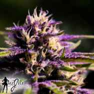 MzJill Genetics Moser Seeds Brian Berry Lemon Lime