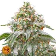 Barneys Farm Seeds Pink Kush
