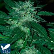 Cannabiogen Seeds Bubba Delight
