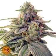 Barneys Farm Seeds Shiskaberry