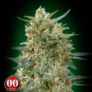 00 Seeds Sweet Critical CBD