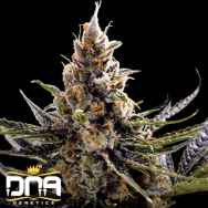 DNA Genetics Seeds 24K Gold AKA Kosher Tangie