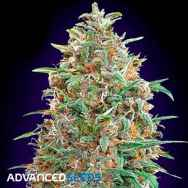 Advanced Seeds AUTO Purple Diesel