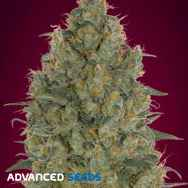 Advanced Seeds Strawberry Gum