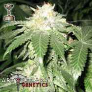 Apothecary Genetics Seeds Bubba Berry