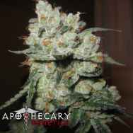 Apothecary Genetics Seeds Chuck Berry
