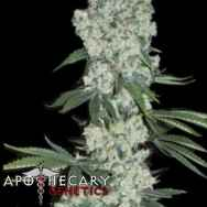 Apothecary Genetics Seeds Earlywave