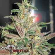 Apothecary Genetics Seeds Frosty Berry