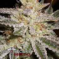 Apothecary Genetics Seeds Sour Berry