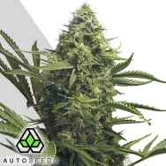 Auto Seeds Sweet CBD Auto