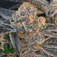 BC Bud Depot Seeds Girl Scout Gum
