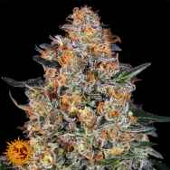Barneys Farm Seeds Bubba Kush