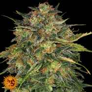Barneys Farm Seeds Cheese