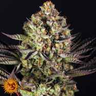 Barneys Farm Seeds Dos Si Dos #33