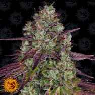 Barneys Farm Seeds Mimosa Evo