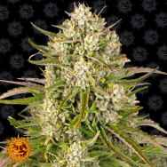 Barneys Farm Seeds AUTO Wedding Cake