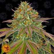 Barneys Farm Seeds Wedding Cake